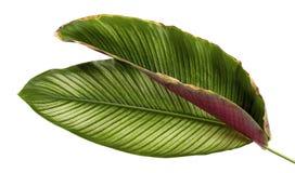 Calathea ornata细条纹Calathea在白色背景离开,被隔绝的热带叶子 免版税库存照片