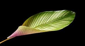 Calathea-ornata Pin-Streifen Calathea verlässt, das tropische Laub, das auf schwarzem Hintergrund lokalisiert wird stockfotos