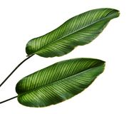 Calathea ornata Pin-stripe Calathea leaves, Tropical foliage isolated on white background, with clipping path. Calathea ornata Pin-stripe Calathea leaves Royalty Free Stock Photos