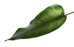 Calathea ornata Pin-stripe Calathea leaves, Tropical foliage isolated on white background, with clipping path. Calathea ornata Pin-stripe Calathea leaves Stock Photo