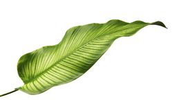 Calathea ornata Pin-stripe Calathea leaves, Tropical foliage isolated on white background. With clipping path Stock Photography