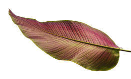Calathea ornata or Pin-stripe Calathea leaves Stock Photo