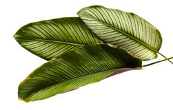 Calathea ornata or Pin-stripe Calathea leaves Royalty Free Stock Images