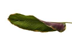 Calathea ornata or Pin-stripe Calathea leaves Stock Photography
