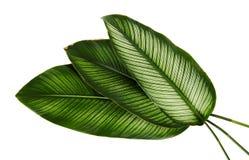 Calathea ornata Pin-stripe Calathea leaves, tropical foliage isolated on white background Stock Photography
