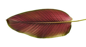 Calathea ornata Pin-stripe Calathea leaves, tropical foliage isolated on white background Stock Photo