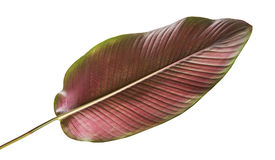 Calathea ornata Pin-stripe Calathea leaves, tropical foliage isolated on white background, with clipping path Stock Image