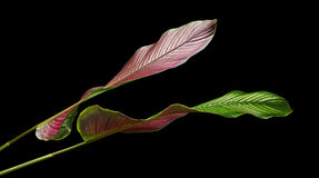 Calathea ornataStift-band Calathea sidor, tropisk lövverk som isoleras på svart bakgrund Royaltyfri Fotografi