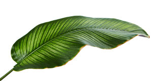 Calathea ornataStift-band Calathea sidor, tropisk lövverk som isoleras på vit bakgrund Arkivfoto