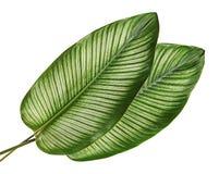 Calathea ornataStift-band Calathea sidor, tropisk lövverk som isoleras på vit bakgrund royaltyfri fotografi