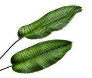 Calathea ornataStift-band Calathea sidor, tropisk lövverk som isoleras på vit bakgrund, med den snabba banan royaltyfria foton