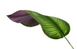 Calathea ornataStift-band Calathea sidor, tropisk lövverk som isoleras på vit bakgrund, med den snabba banan royaltyfri fotografi