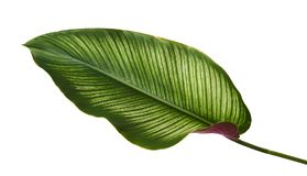 Calathea ornataStift-band Calathea sidor, tropisk lövverk som isoleras på vit bakgrund, med den snabba banan arkivfoto