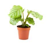 Calathea (planta del rezo) Imagen de archivo libre de regalías