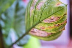 Calathea växt av den dyrbara naturliga prydnaden fotografering för bildbyråer
