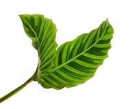 Calathea zebrina叶子或斑马植物,异乎寻常的热带叶子,隔绝在与裁减路线的白色背景 免版税库存图片