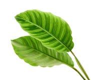 Calathea zebrina叶子或斑马植物,异乎寻常的热带叶子,隔绝在与裁减路线的白色背景 免版税库存照片