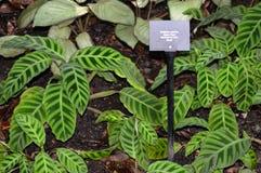 Calathea Zebrina or Zebra Plant Royalty Free Stock Images