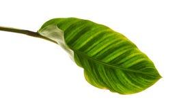 Calathea zebrinalövverk eller sebraväxt, exotiskt tropiskt blad som isoleras på vit bakgrund med den snabba banan royaltyfri foto