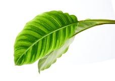 Calathea zebrinalövverk eller sebraväxt, exotiskt tropiskt blad som isoleras på vit bakgrund med den snabba banan arkivfoton
