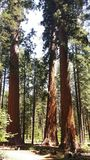 Sequoias in Calaveras Big Trees State Park Stock Images