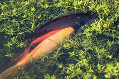 Calca di deposizione delle uova dei pesci Fotografie Stock Libere da Diritti