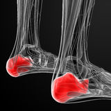 Calcaneus bone Royalty Free Stock Photography