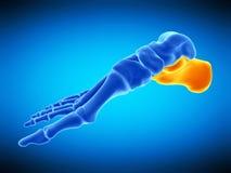 The calcaneus bone vector illustration