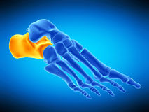 The calcaneus bone Royalty Free Stock Images