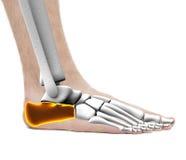 Calcaneus Heel Bone - Anatomy Male - Studio photo isolated on wh Stock Images