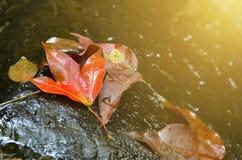 Calcaratum d'Acer ou espèces asiatiques d'érable en automne Image libre de droits