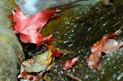 Calcaratum d'Acer ou espèces asiatiques d'érable en automne Photo stock