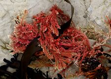 Calcareous red seaweed. FZ200 Stock Image