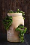 Calcareum suculento de Sempervivum no potenciômetro cerâmico da planta com lado o Imagem de Stock Royalty Free