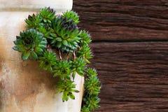 Calcareum suculento de Sempervivum no potenciômetro cerâmico da planta com lado o Imagem de Stock