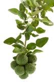 Calce del Kaffir/frutta del bergamotto Fotografie Stock