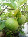 Calce del limone immagine stock libera da diritti