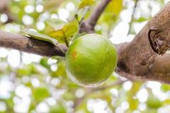 Calce fresche sull'albero Immagini Stock Libere da Diritti