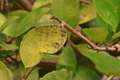 Calce, malattia del limone, cause dai funghi, malattia di malattia della foglia del melanose Fotografia Stock Libera da Diritti