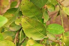 Calce, malattia del limone, cause dai funghi, malattia di malattia della foglia del melanose Fotografia Stock