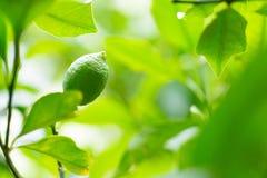 Calce sana, limone, agrume su un bello ful verde del ramo di albero Immagini Stock Libere da Diritti