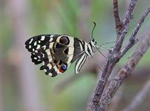 Calce Swallowtail Immagine Stock Libera da Diritti