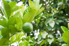 Calce verdi del limone sull'albero in giardino organico Immagini Stock