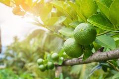 Calce verdi fresche del limone sull'albero in giardino Fotografia Stock Libera da Diritti