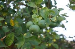 Calce verdi fresche sull'albero Immagini Stock Libere da Diritti