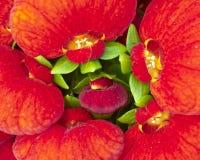 calceolaria цветет красный цвет Стоковое Изображение