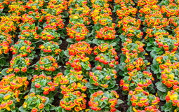 Calceolaria floret wall. Royalty Free Stock Photos