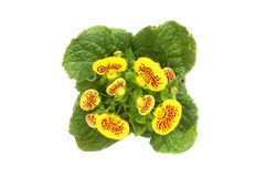 Calceolaria flowers isolated Stock Photography