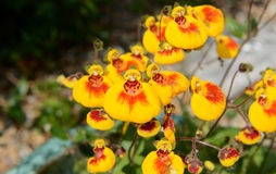Calceolaria flowers Stock Image