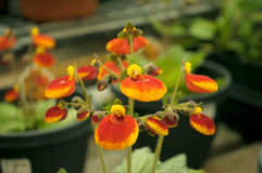 Calceolaria Flowers. Red and yellow Calceolaria flowers in the garden. Also known as Pocketbook Plant Royalty Free Stock Photo